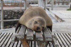 Sleeping Seal by jackman-chiu