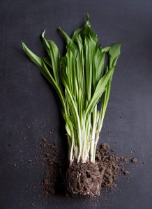 Freshly pulled spring onions, on a dark grey background
